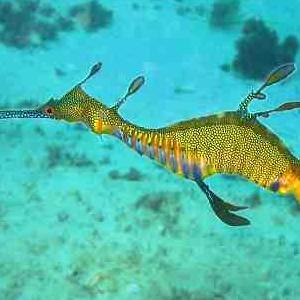 800px_phyllopteryx_taeniolatus1